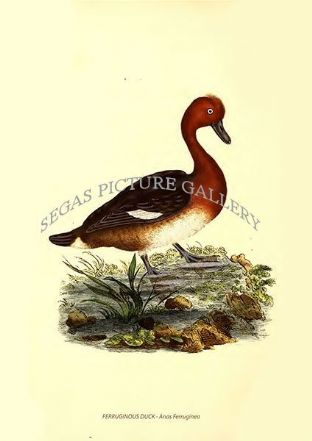FERRUGINOUS DUCK - Anas Ferruginea
